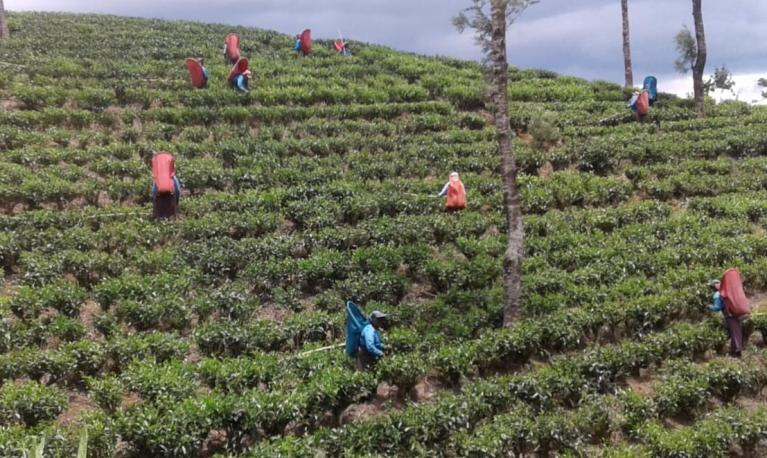 A tea plantation in Sri Lanka. Many tea plantation workers in Sri Lanka, where masks are mandatory, have been forced to buy or make their own protective face-wear. Photograph: Dr Yasmin Gunaratnam